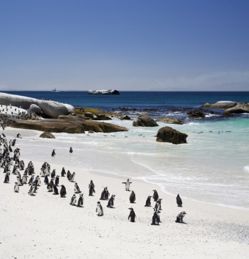 Pinguini @ Boulders Beach